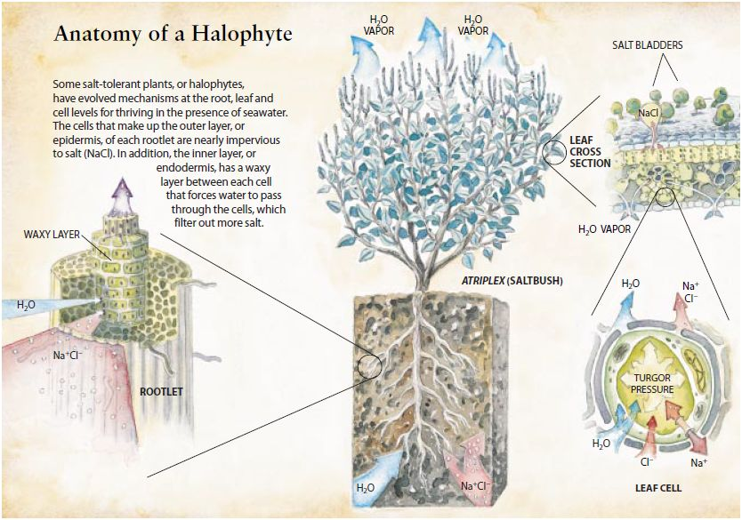 Anatomy of Halophytes (salt sea/ocean water irrigated plants like Salicornia: 30% oil and 35% protein)
